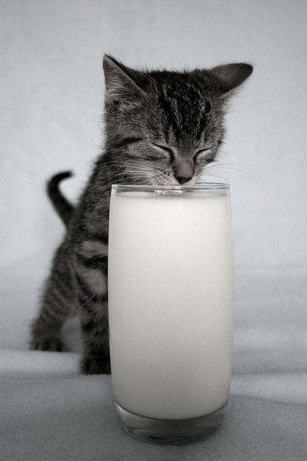 Что любят кошки конечно молоко